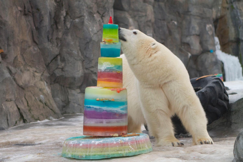 bear birthday Polar Bear Birthday and Celebration of Ahpun's Life — The Alaska Zoo bear birthday