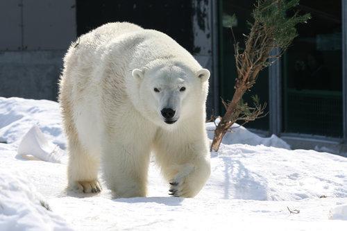 Hasil gambar untuk Alaska Zoo polar bear party