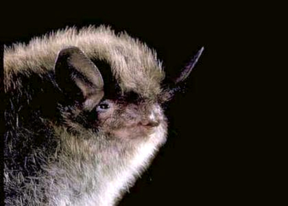 Photo courtesy of MerlinTuttle.org and Bat Conservation International.