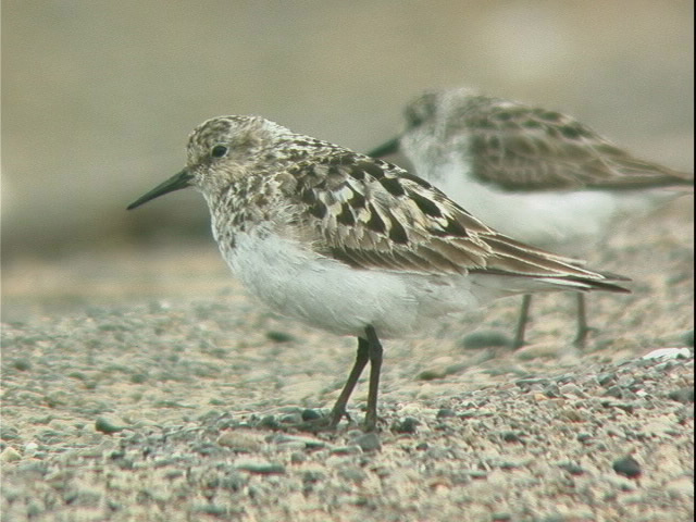 Baird's Sandpiper. USFWS. Photo from fws.gov.