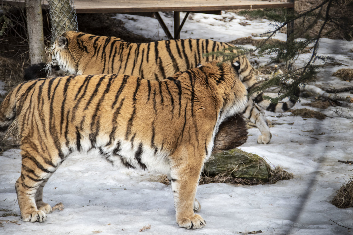 Critter Chat: Tigers — The Alaska Zoo