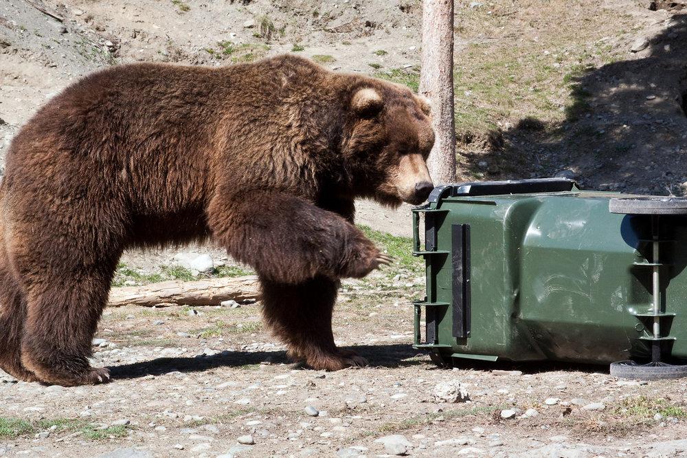 bear test brown 2010.jpg