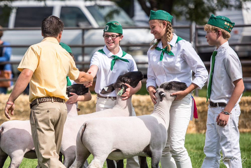4-H Members show their sheep. The judge selects his favorite with a hand shake.  Image:  Brian Gailey  Tulelake Butte Valley Fair 2017