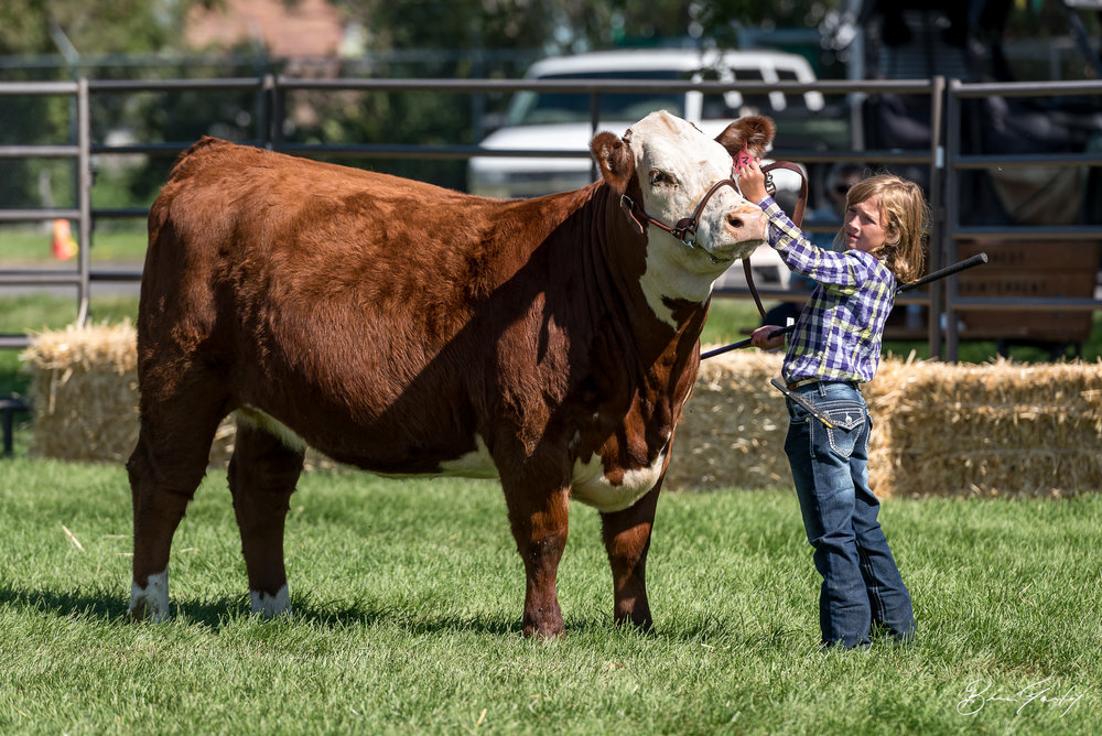 This young little lady did not know it at the time but her and this steer would walk away with a Reserve Champion ribbon. Image:  Brian Gailey  Tulelake Butte Valley Fair 2017