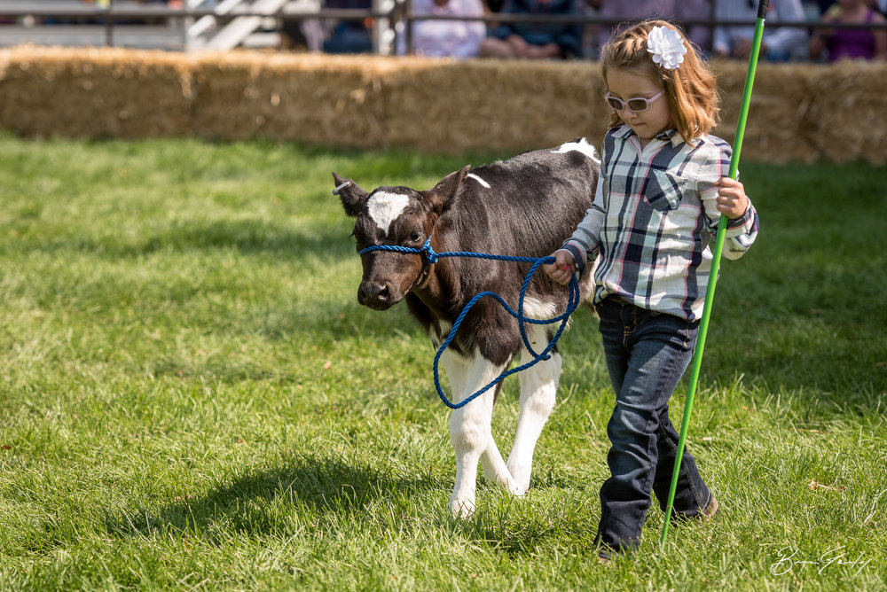 Pee Wee Showmanship is just for the little guys up to 6 years old. This young lady and her calf walk graciously through the ring. Her favorite thing to do...walk the calf. I think she is doing a great job. Image:  Brian Gailey  Tulelake Butte Valley Fair 2017