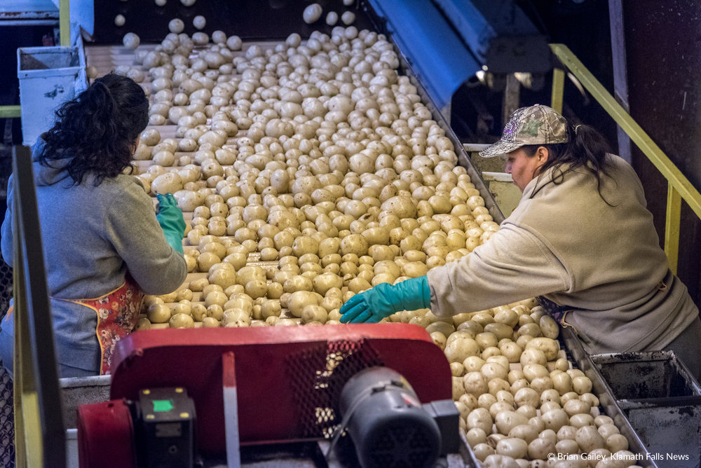 Gold Dust employees sort potatoes on a conveyor after they have been washed. (Brian Gailey)
