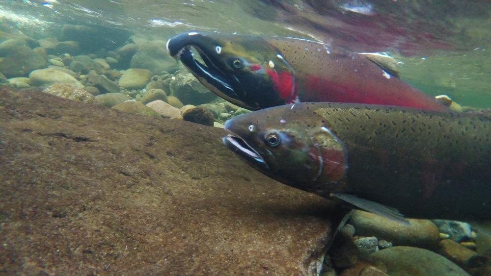 Coho Spawning on the Salmon River (Bureau of Land Management Flickr)