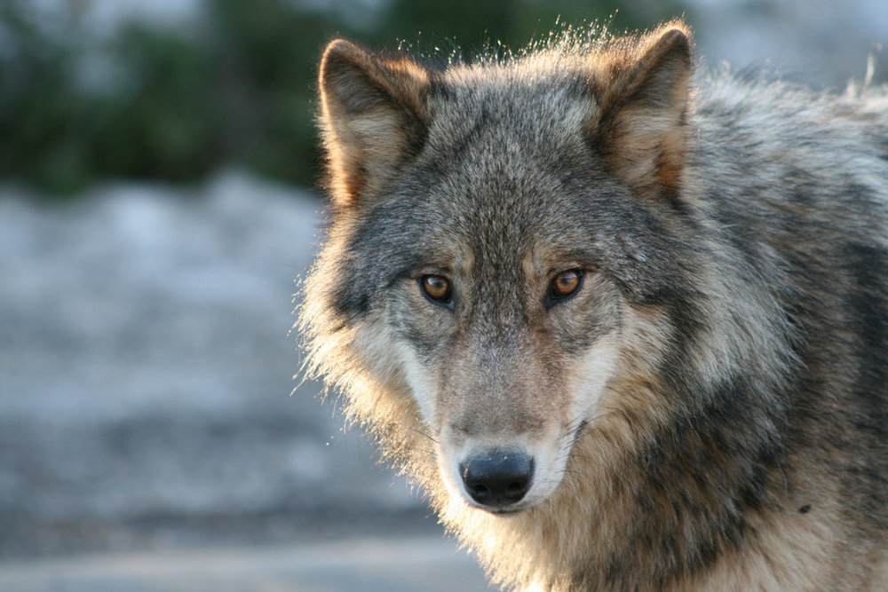 File photo of a wolf (Image:  Jethro Taylor )