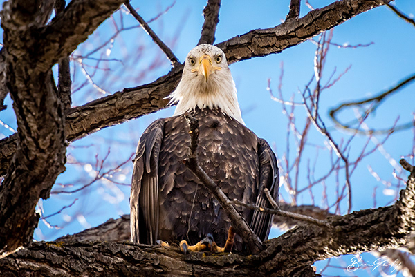 Bald Eagle at the Lower Klamath Lake National Wildlife Refuge. (Image by Brian Gailey)
