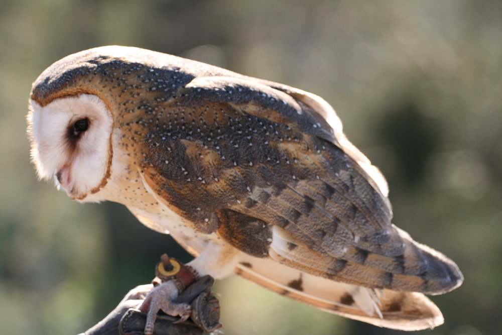 Barn Owl (File Photo)