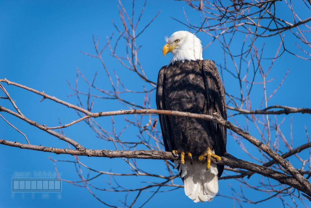 A majestic Bald Eagle is perched in a tree at the Lower Klamath Lake National Wildlife Refuge scoping out a meal.  Image by  Jason McMurry .