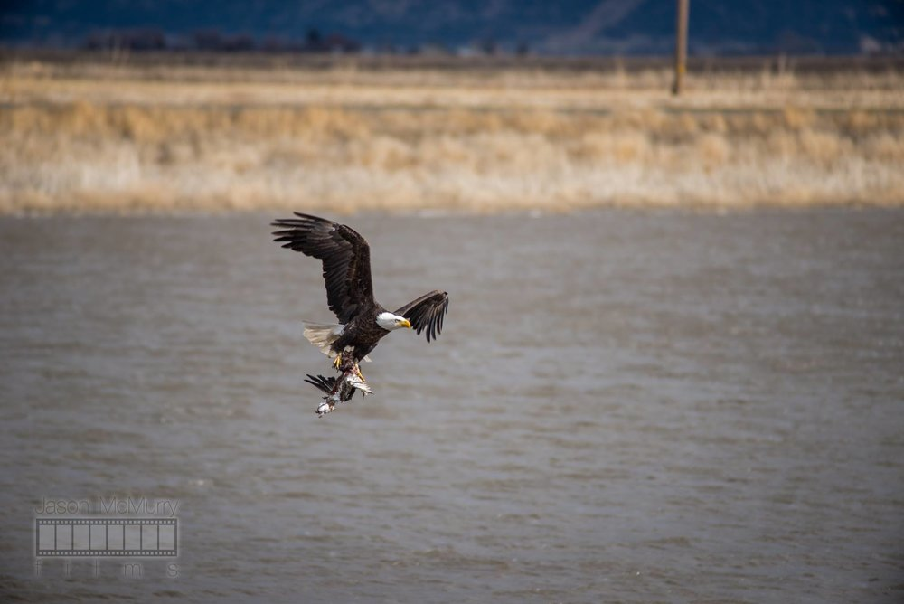 A Bald Eagle and his catch at the Tule Lake NWR. Image by  Jason McMurry