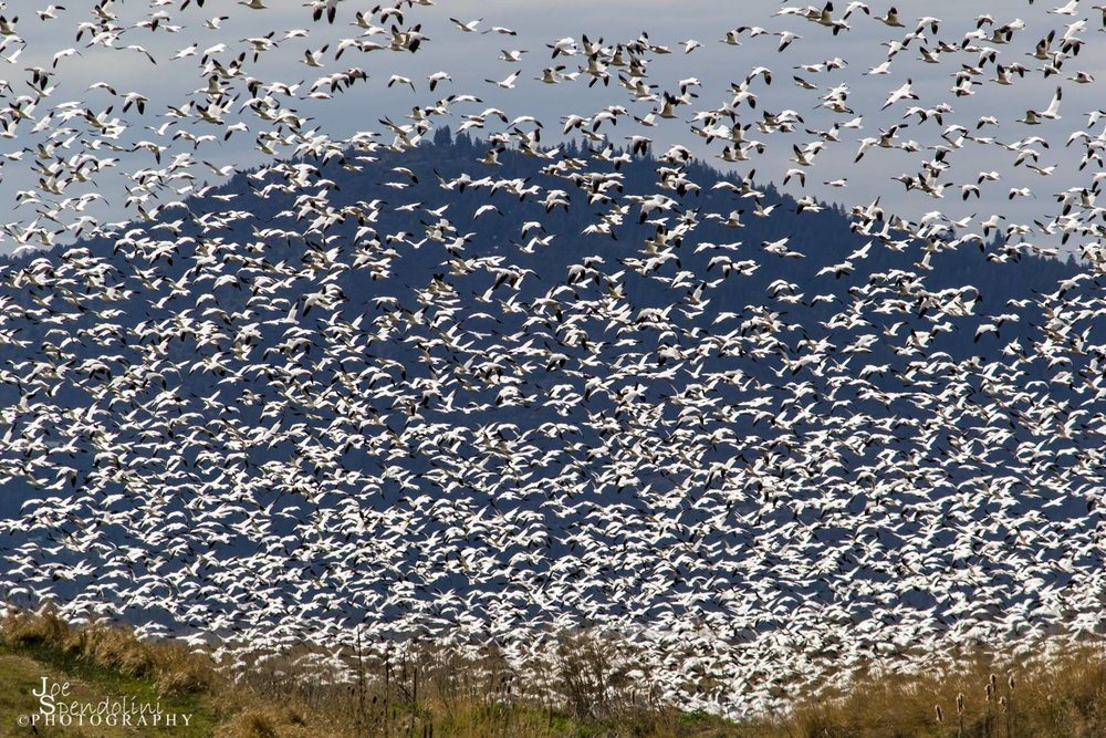 A flock of Snow Geese prepare to land at the Miller Island NWR, a section of the Lower Klamath NWR. Image by  Joe Spendolini.