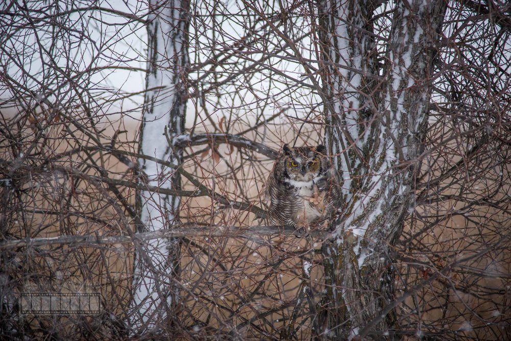 A Great Horned Owl sits calmly camoflauged in a tree. Image by  Jason McMurry .