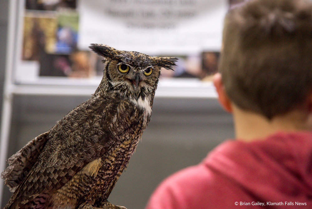 Ewok, a Great Horned Owl and other animals from Badger Run Wildlife Rehab were on hand to educate children at PLAY Outdoors, Klamath Falls, Ore. - January 20, 2018 (Brian Gailey)