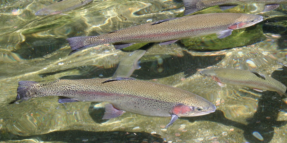 Rainbow Trout (Oregon Department of Fish and Wildlife)