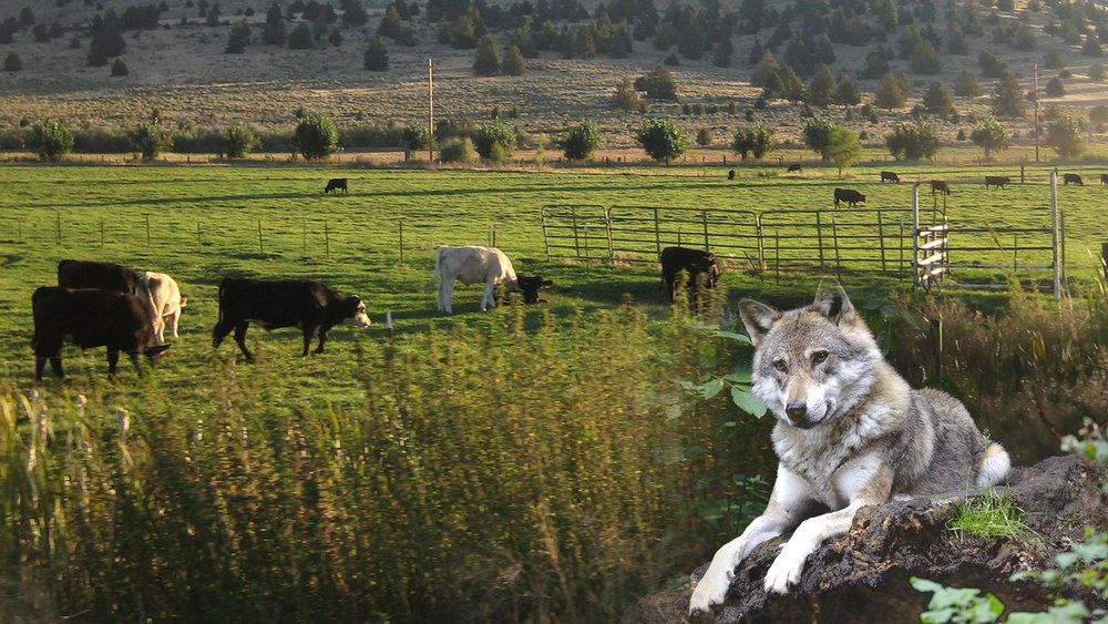 OSU KBREC To Host Wolf and Livestock Interaction Seminar May 2. Cattle, BLM  Flickr  / Wolf, Stock Photo