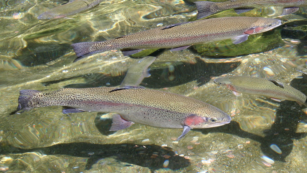 Rainbow Trout (ODFW  Flickr )