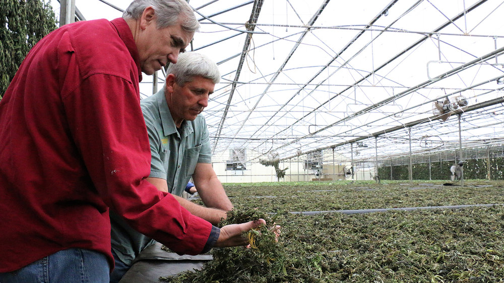Oregon's U.S. Sen. Jeff Merkley and Boring Hemp Company owner Barry Cook run their hands through hemp that has been spread out to dry in a drying shed. Hemp requires little water, no pesticides, and no herbicides to grow, making it a versatile agricultural product. (Submitted Photo)