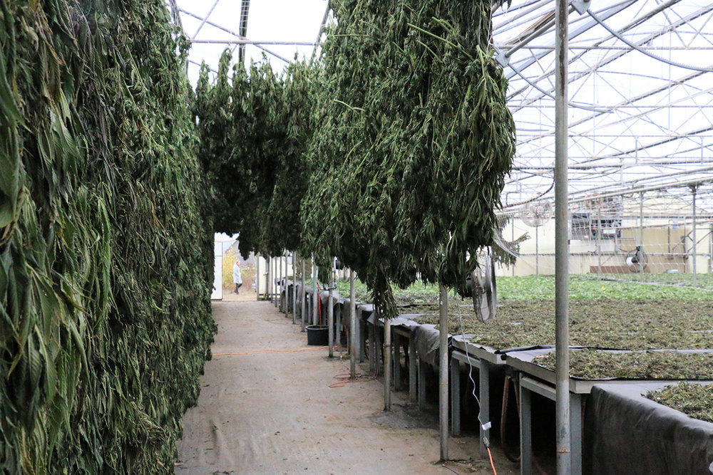 Hemp fills a drying shed at Boring Hemp Company in Boring, Ore. A bipartisan provision in the Senate version of the 2018 farm bill would fully legalize hemp, removing it from the list of federal controlled substances and recognizing it as an agricultural product. (Submitted Photo)