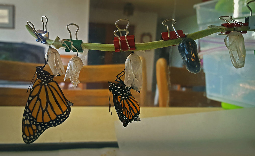 Newly hatched adult monarch butterflies hang on their chrysalis shells on September 3, 2017. Since survival in the wild is less than two percent, Akimi King, a biologist with the U.S. Fish and Wildlife Service in Klamath Falls, Oregon, raised the monarchs indoors. Credit: Akimi King/USFWS
