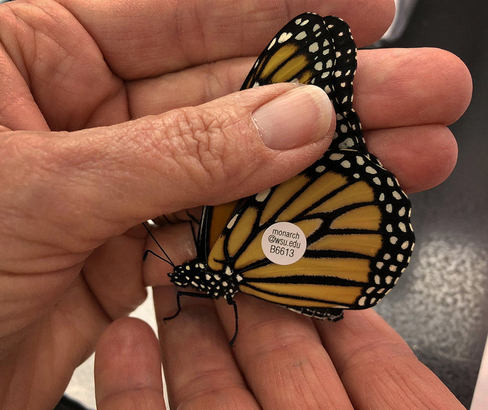 Coded tags like the one shown here were applied to the wings of two captive reared butterflies before they were released. Credit: Tracy Hart/USFWS