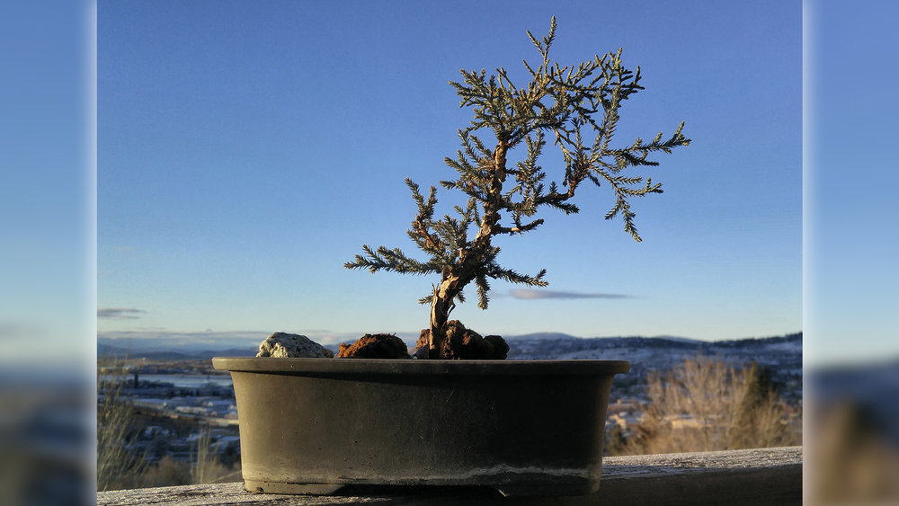 A western juniper prebonsai seedling is among the plants that will be displayed during a bonsai study group meeting Jan. 10 in Klamath Falls. Submitted Photo