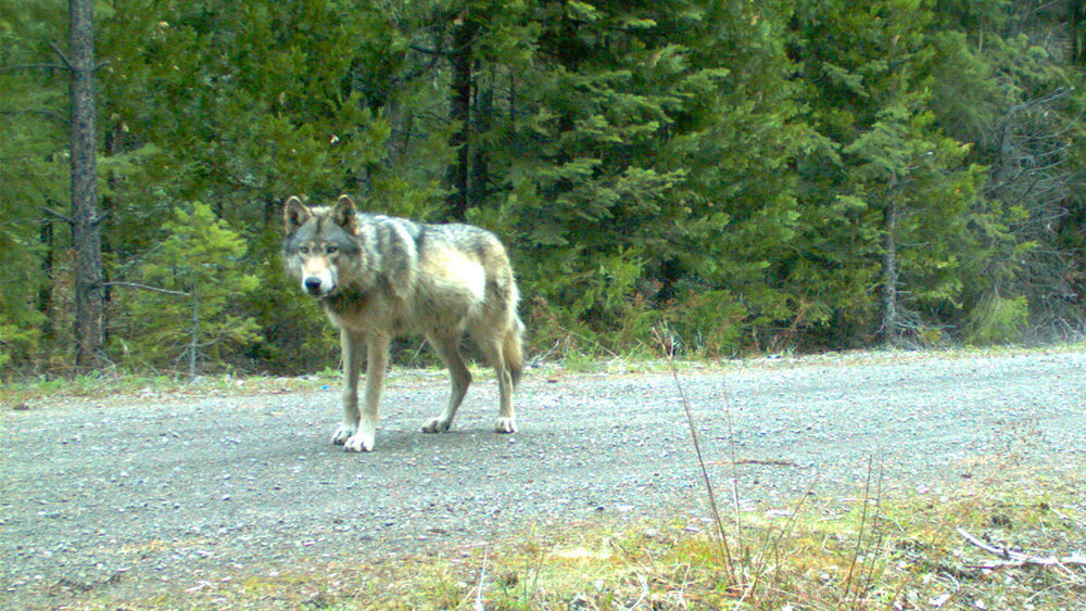 Remote camera photo of OR7 captured on 5/3/2014 in eastern Jackson County on USFS land. (Oregon Department of Fish and Wildlife)