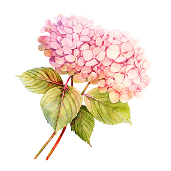 Two pink Hydrangeas