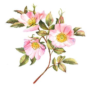 Rose bush in blossom