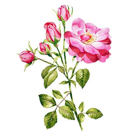 pink_roses copy.jpg