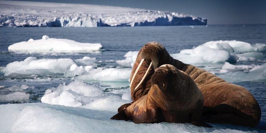 Blue Planet 2 Walruses