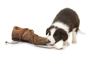 Border collie puppy chewing on shoe