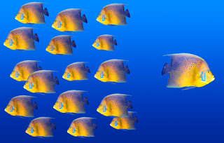 One angel fish swimming away from school of angel fish