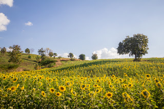 Field of sunflowers and rolling hills