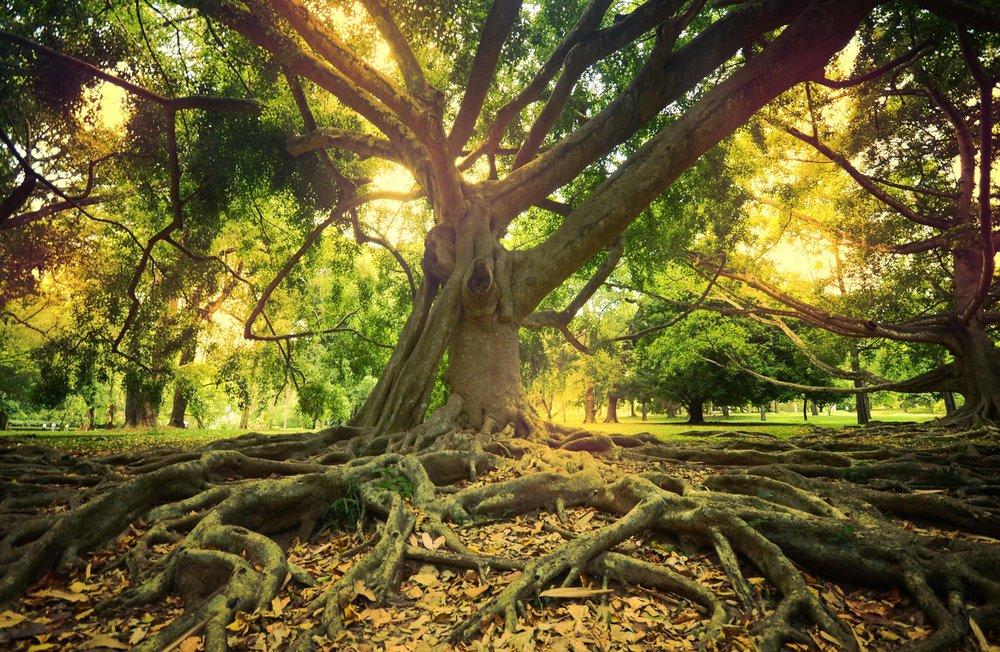 gianttree.jpg