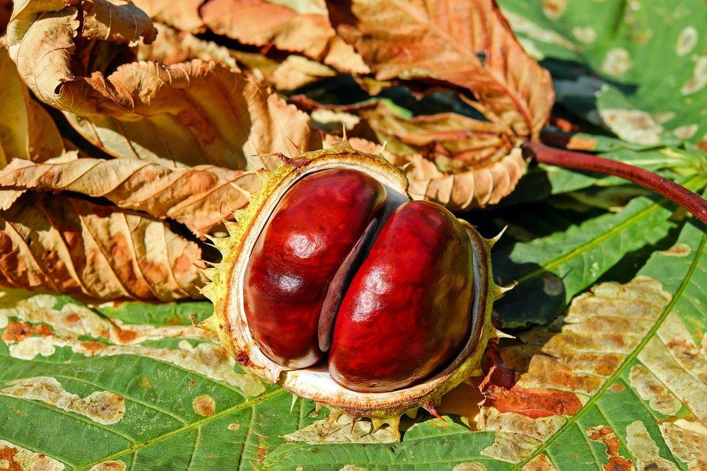 chestnut-2740751_1280.jpg