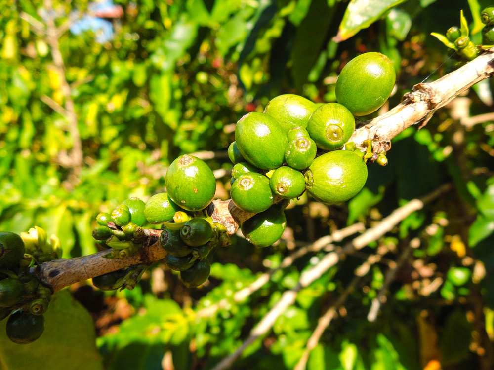 And since it's us, here are some unripe coffee berries we found in Kauai!