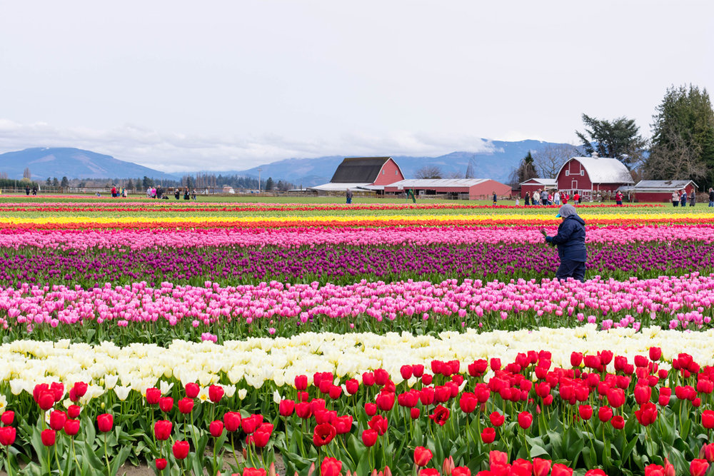 Skagit Valley Tulip Festival Tulip Town tulip field