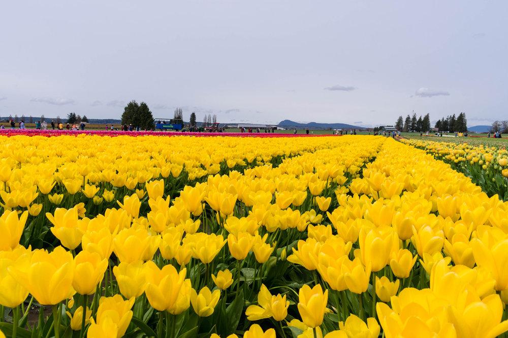 Skagit Valley Tulip Festival Tulip Town