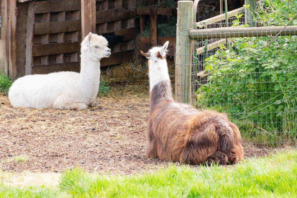 Bonus llama butt