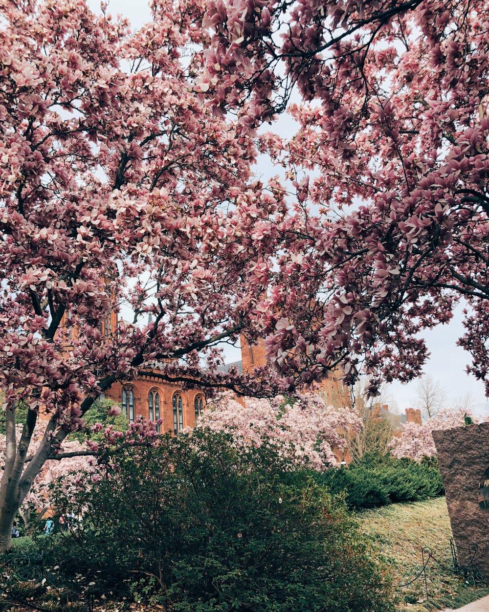 Magnolia Magic Washington Dc Sense Of Arrival