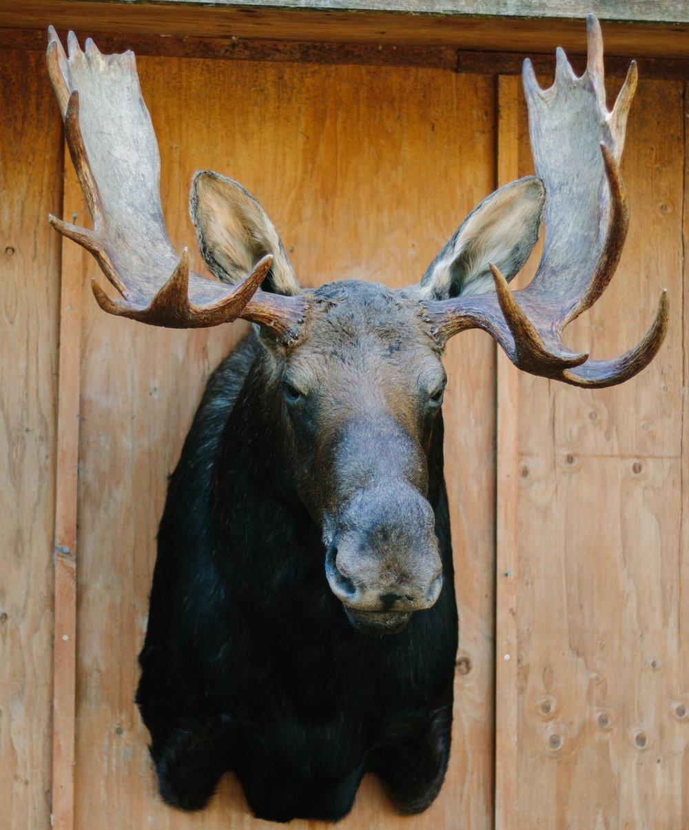 2017 Pannkuk Moose14.jpg
