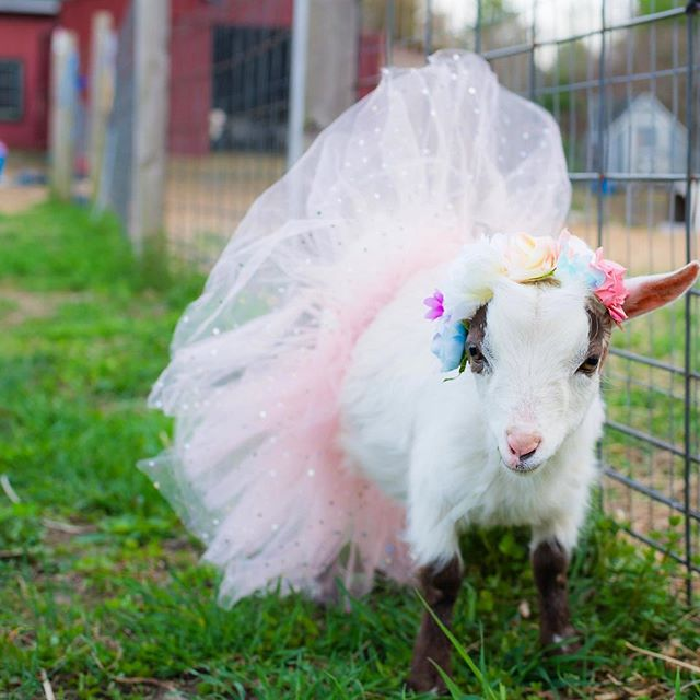 Be you 🌸 and own it. • • • #babygoats #goatsofinstagram #cutebabyanimals #goatlove #goatloversanonymous #flowercrown #tutu