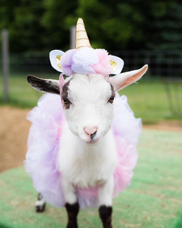 Always be yourself. Unless you can be a unicorn. 🦄 Then always be a unicorn ✨ ✨ TAG A FRIEND FOR A SMILE! #unicorn #believe #goatsofinstagram #goats #babygoats #dressup #lovelife #magical #happyfriday 📷 @fullofwhimsyphotography