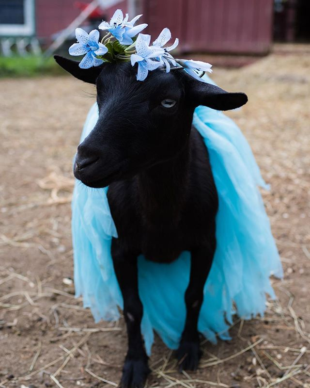 BLUE-ti-Ful 💙 Meet Suzie 💙 She was on her way to a livestock auction when we rescued her. What someone deemed disposable, we saw great worth.  She was barely three years old with so much life to live.  We brought her to our farm to live the best life possible; it's what she deserves. 💙 #goats #goatsofinstagram #nigeriandwarf #calendar #rescue #connecticut #farmlife #flowercrown #tutu