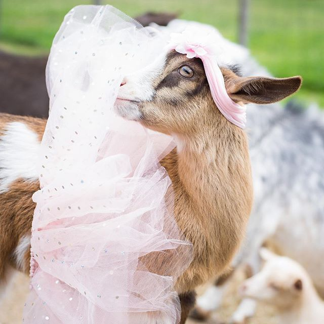 Don't let anyone dull your sparkle. 🌸 🌸 🌸 #goat #goatlife #goatlove #goatloversanonymous #tutu #flowercrown #calender #cute #babyanimals #farmers