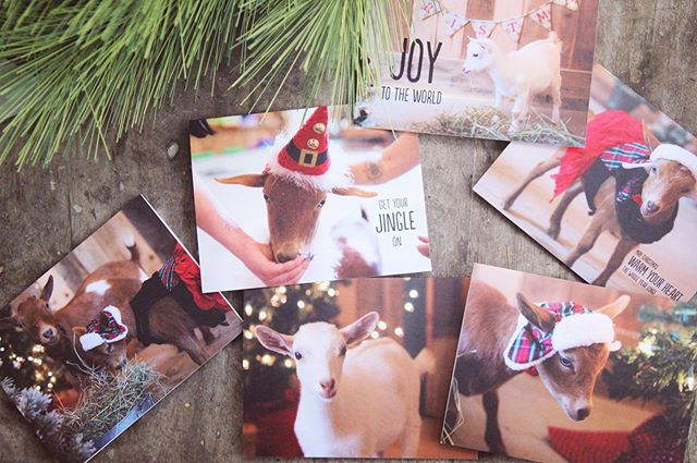 Christmas Cards are here!!! 🎄❤️🐐 • Link in bio • • • #christmas #goats #cards #goatlover #goatlove #goatsofinstagram #babygoats #goatworthy #goatsquad #gift #connecticut #farm #farmphotography #farmher #farmlife #stationary #shopsmallbusiness
