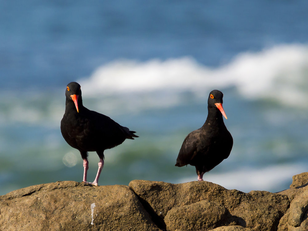 Black Sea Birds on a rock next to the sea at Pringle Bay