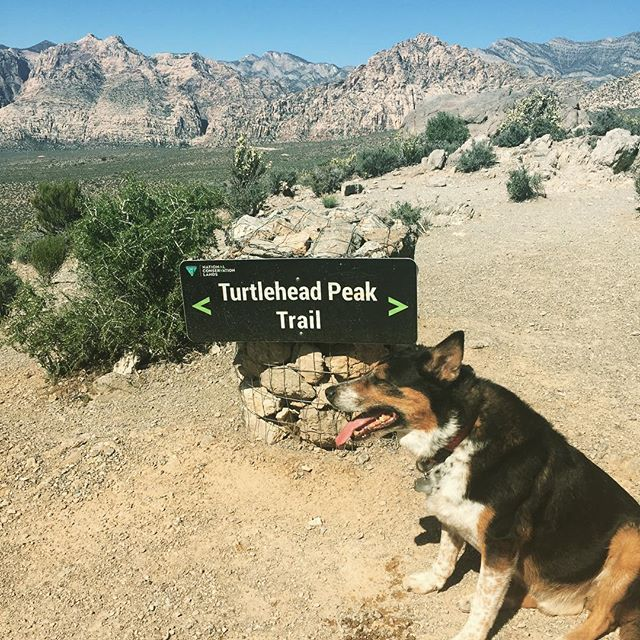 Dogs and desert flowers... so many flowers!! Is this what you think of when I say dessert hiking?  #mohavedesert #turtleheadpeak #vegas